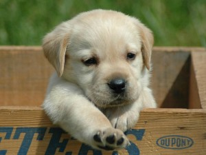 razas-de-perros-pettitto